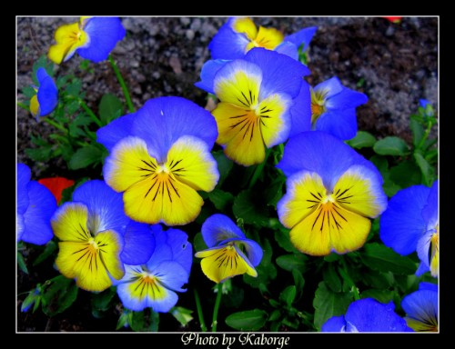 37_The Blue Flowers