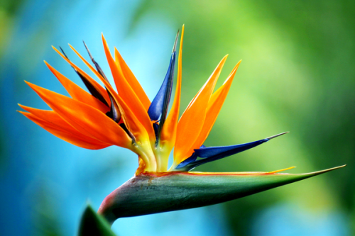 6_Blue Bird of Paradise
