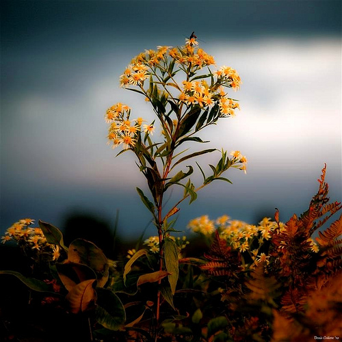 9_Aster D'automne