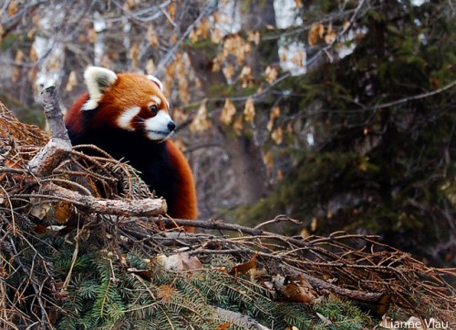 Red Panda - Animal Pictures