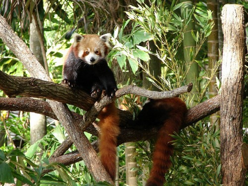 Two Red Panda in Forest